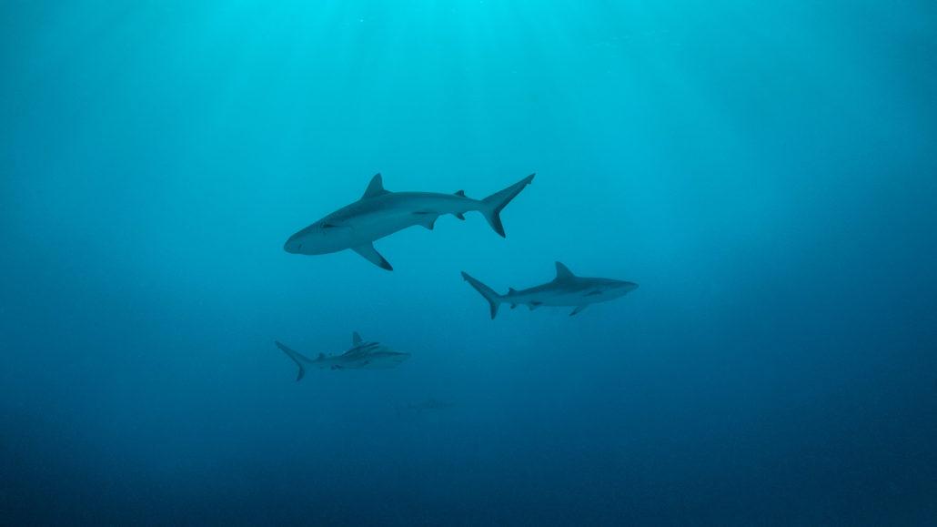 shark_1_istock